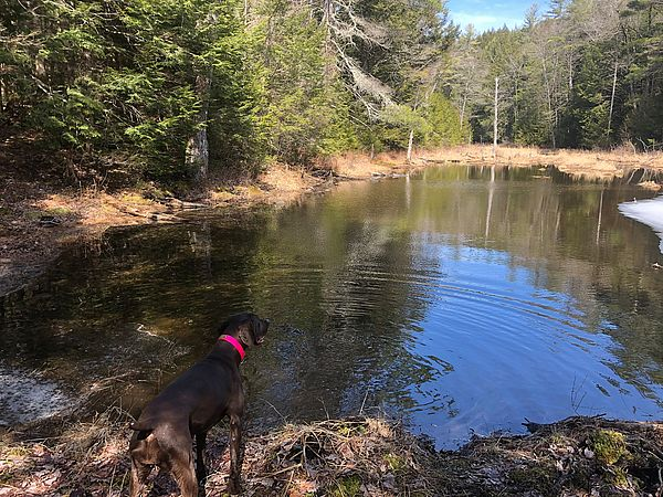 Spring pond with Kona the dog