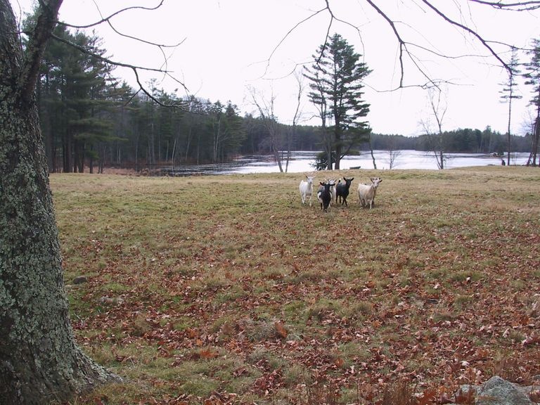 Goats near Davenport Pond